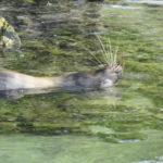 Lobo marino - Galápagos