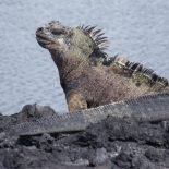Iguana marina Galápagos